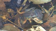 Two Wood Frog Males, Competing, Clasping Dead Female, Zoom To Woodland Setting