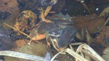 Two Wood Frog Males, Competing, Clasping Dead Female
