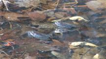 Four Wood Frogs In Pond, One Turns, Two Exit