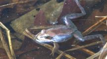 Wood Frog In Pond, Croaking, Mosquito Lands On It, Exits