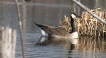 Canada Goose Gander, Swims Aroung Reeds, Defecates Into Water