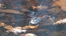 Wood Frog Drifting On Surface Of Pond, Kicks One Leg, Exits