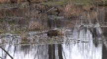 Muskrat Pulling And Eating Reeds In Pond