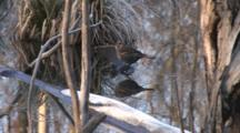 Red Winged Blackbird, Female, On Ice Covered Branch In Water, Slipping, Walking