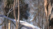 Red Winged Blackbird, Female, On Stump In Water, Exits