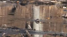 Northern River Otter Swimming In Pond Toward Camera, Turns, Swims In Front Of Beaver Lodge