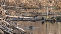 Common Grackles Feeding At Water's Edge, Northern River Otter Enters, Looks, Swims Toward Camera