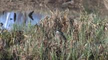 Northern River Otter In Tall Grass At Water's Edge