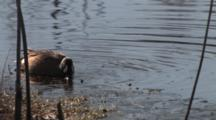 Blue Winged Teal Drake Feeding, Bubbles Coming Up