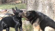 German Shepherd Dogs Playing