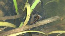 Giant Water Bug, Lethocerus, With Abdomen Above Water In Pond, Exits