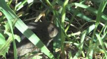 Woodland Vole Hiding In Grass, Exits