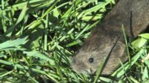 Woodland Vole, Walking Through Grass
