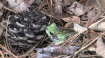 Eastern Grey Tree Frog, Sitting Motionless In Leaf Litter, By Pinecone