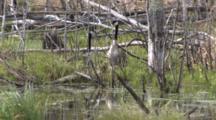 Canada Goose Family, Resting On Grassy Bog In Pond, Blackbird Preening In Bground, Exits