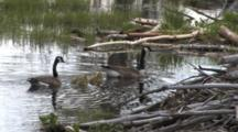 Canada Goose Family, Swimming In Pond, Dissappear Behind Beaver Lodge