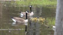 Canada Goose Gander, Enters, Hen And Goslings Enter, Swim Through Frame, Exit, Splashing, Gander Protects