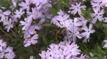 Hawkmoth, Snowberry Clearwing, Feeding On Phlox