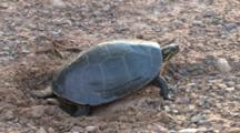 Painted Turtle In Nest Hole, Switching Back Legs To Dig