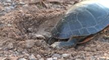 Painted Turtle In Nest Hole, Trying To Dislodge Large Rock From Hole