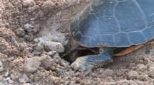 Painted Turtle In Nest Hole, Trying To Dislodge Large Rock From Hole, Switching Legs To Dig