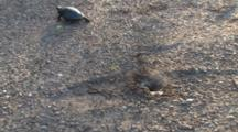 Painted Turtle, Walking Away, Gives Up On Digging Nest Hole With Large Rock At Bottom