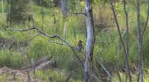 Cedar Waxwing On Branch, Low To Ground, Back To Camera, Looking Back & Forth