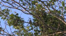 Cedar Waxwings On Branch, Interacting, Both Exit