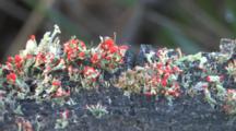 Stump By Pond, Zoom To Lichen, Algae, British Soldier Lichen Growing On Stump By Pond