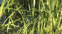 Reeds In Water Moving, Turtle Head Appears, Moving Through Water