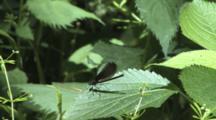 Damselfly, Female Ebony Jewelwing, On Leaf, Slight Breeze