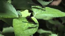 Damselfly, Ebony Jewelwing, Male On Leaf, Opens Wings, Female Enters, Lands