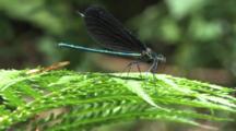Damselfly, Male Ebony Jewelwing On Fern Leaf, Gentle Breeze