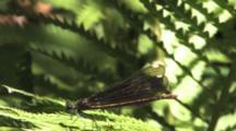 Damselfly, Female Ebony Jewelwing On Fern Leaf, Gentle Breeze