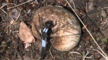 Chalk-Fronted Corporal Dragonfly, Male Resting On Mushroom, Watching Insects Fly Past, Ant Walks Past