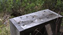 Chalk-Fronted Corporal Dragonflies, Coming & Going From Bench
