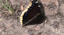 Mourning Cloak Butterfly, Searching Through Mud With Proboscis