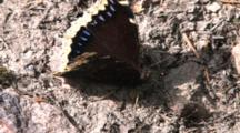 Mourning Cloak Butterfly, Searching Through Mud With Proboscis, Zoom To Cu