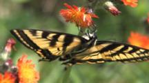 Eastern Tiger Swallowtail Butterfly, Hanging Upside Down, Feeding On Orange Hawkweed