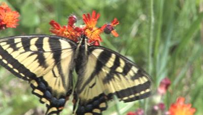 Eastern Tiger Swallowtail Butterfly, Feeding On Orange Hawkweed, Exits