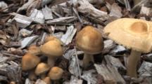 Mushroom Colony Growing In Wood Mulch