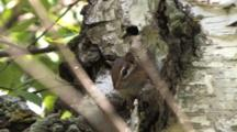 Chipmunk In Birch Tree, Moving About