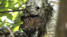Chipmunk Sitting Motionless In Birch Tree