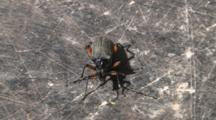 Long Horned Beetle, Still, Sunning On Large Rock
