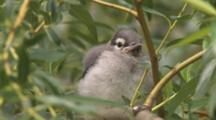 Blue Jay Fledgling, In Willow Tree, Calls Twice For Parents
