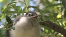 Blue Jay Fledgling, Puffed Up, Sitting In Willow Tree, Calling For Parents