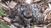 Killdeer Resting On Ground, Zoom To Cu Nest Behind, Two Chicks ,Two Eggs