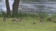 Flooded River, Zoom To Canada Geese, Several Families, Feeding, Resting By Bank