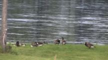 Canada Geese, Several Families, Preening, Resting By Bank Of Flooded River
