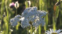 Wildflower, White Yarrow